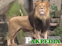 Islamabad Zoo Lion Image
