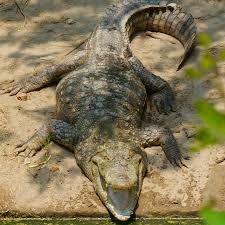 Crocodile (national reptile)