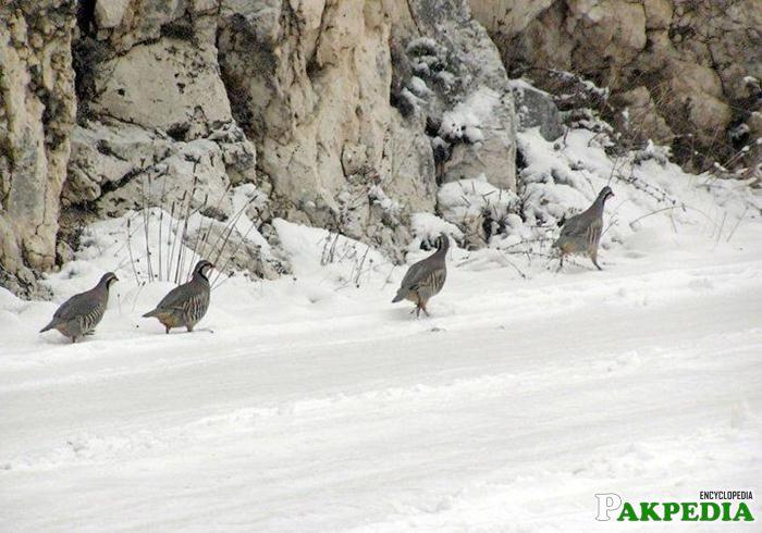 Ziarat Snow Falling