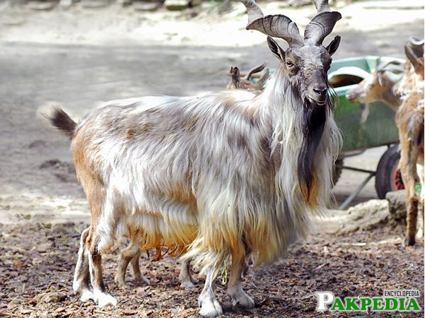 Markhor Goat is an animal that is as much an icon of Kashmir as the beautiful Dal Lake and its shikaras.