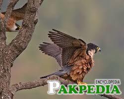 Shaheen Falcon