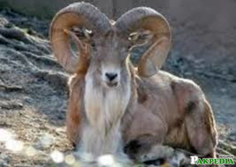 Threats of Markhor Goat