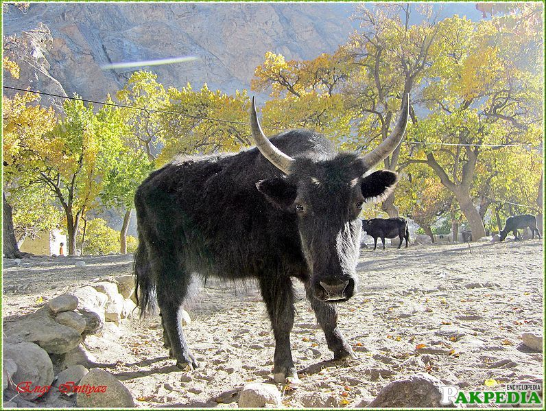 bzo is its local name in balti and is type of bull located in skardu baltistan