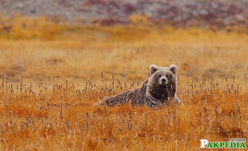 The rare brown bears of Deosai