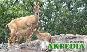 Markhor goats of Pakistan