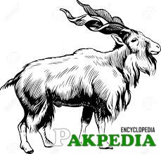 Markhor male Capra falconeri