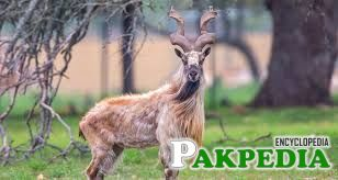 Key Facts of Markhor Goat
