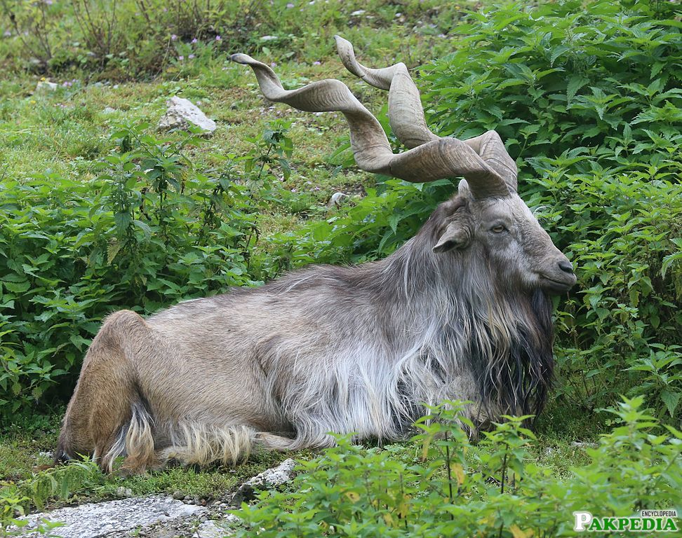 The conservation efforts of markhor