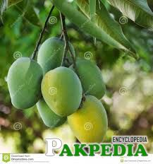 Bunch of green and yellow ripe mango on tree in garden