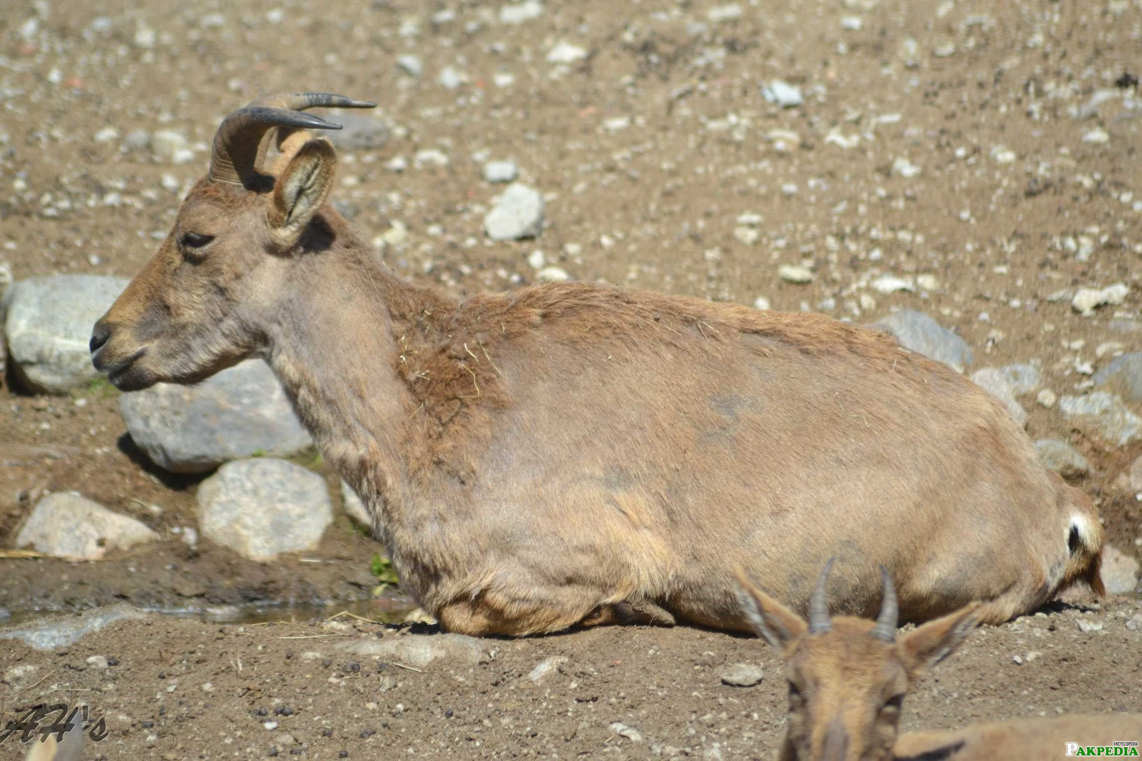 Photo of little Markhor Goat