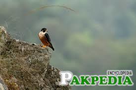 The Shaheen Falcon (Falco peregrinus peregrinator), also known as the Indian Peregrine Falcon