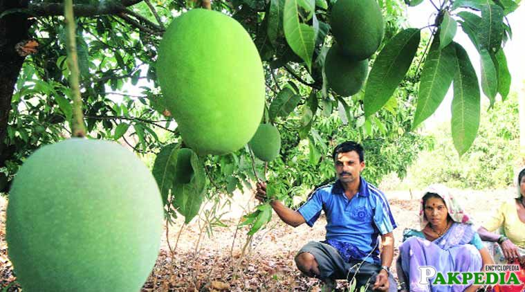 Growers are worried as further rains would cause major damage to mangoes.