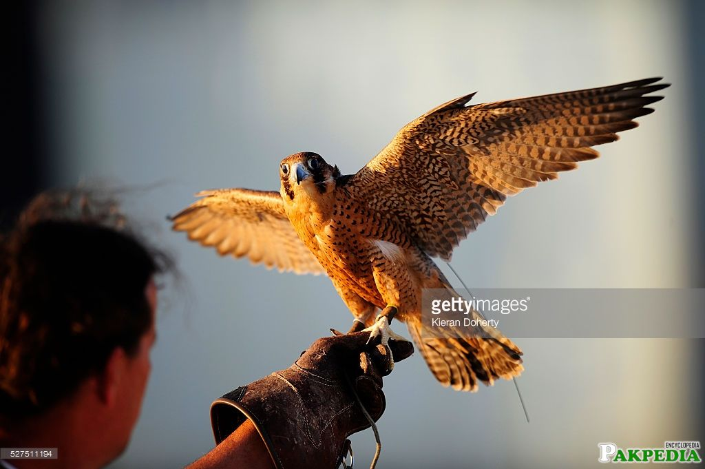 A Red-Knaped Shaheen falcon is held by a professional bird handler