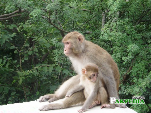 Monkeys around the Margalla Hills on daily basis, an attraction